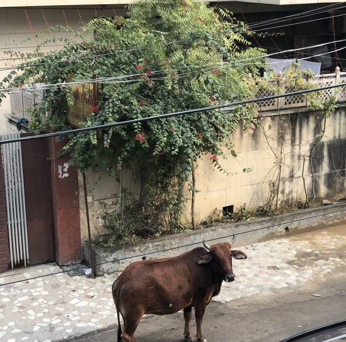 Cows in the street of India